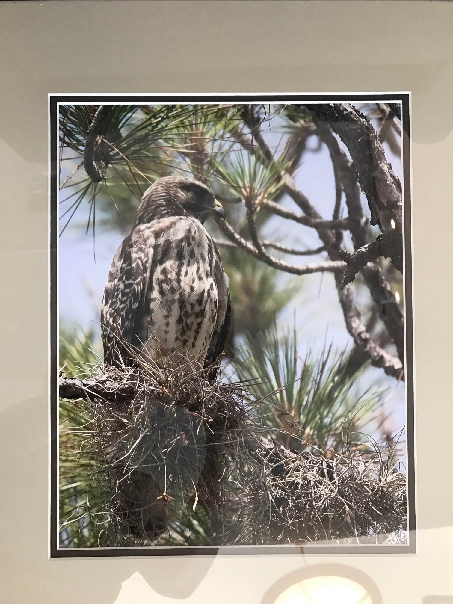 """Red Shouldered Hawk"" by Anthony Lauby"