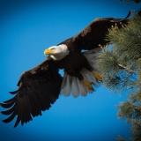 """""""Eagle Aerobatics"""" by William Lauby"""