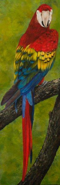Scarlet Macaw by Nancy Lauby