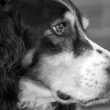 """Oscar The Llewellyn Spaniel"" by Sandra Vann"