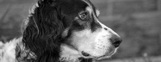 """Oscar - The Llewellyn Spaniel"" by Sandra Vann"