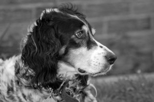 Oscar - The Llewellyn Spaniel
